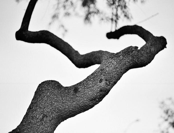 Slanting Desert Tree. Photo by Francis DiClemente.