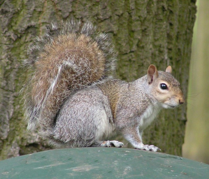 A gray squirrel (not the one from the roof). Photo by Sannse, downloaded from Wikipedia.