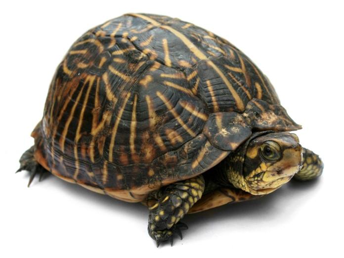 Florida box turtle. Photo by Jonathan Zander (Digon3).